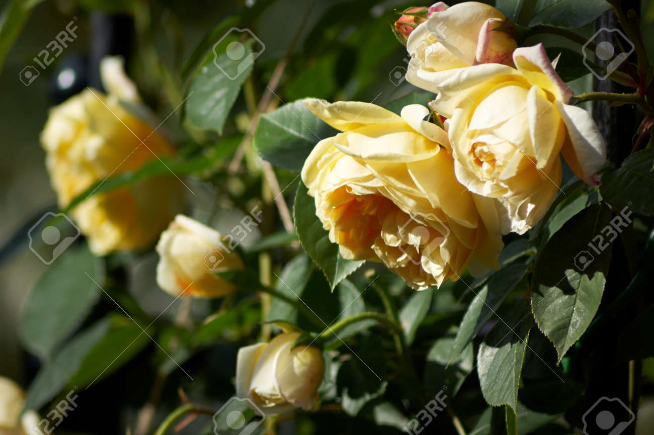 A Cluster Of Yellow Rose Flowers Genus Rosa And Buds On A Bush Stock