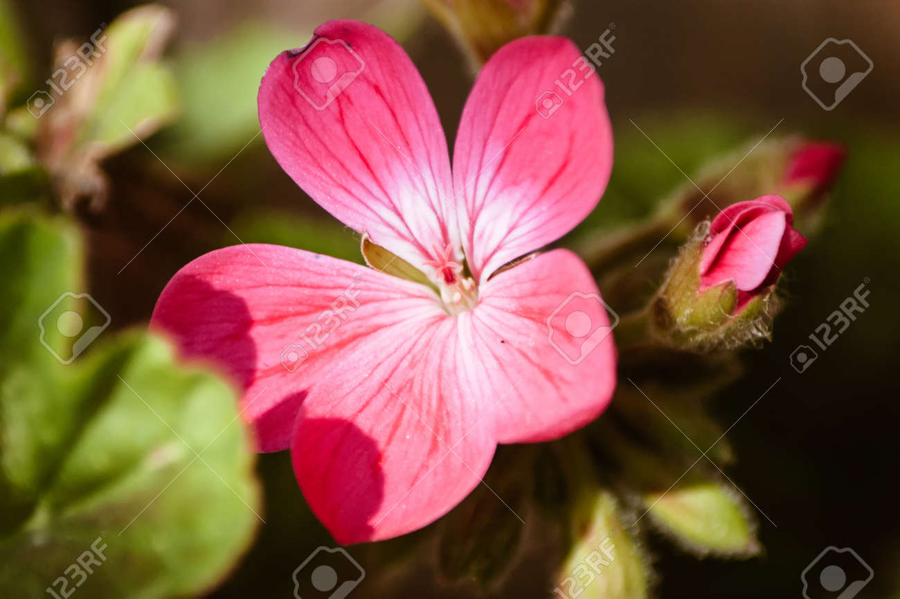 A Single Pink Geranium Flower In Sunlight With A Leaf Shadow And A