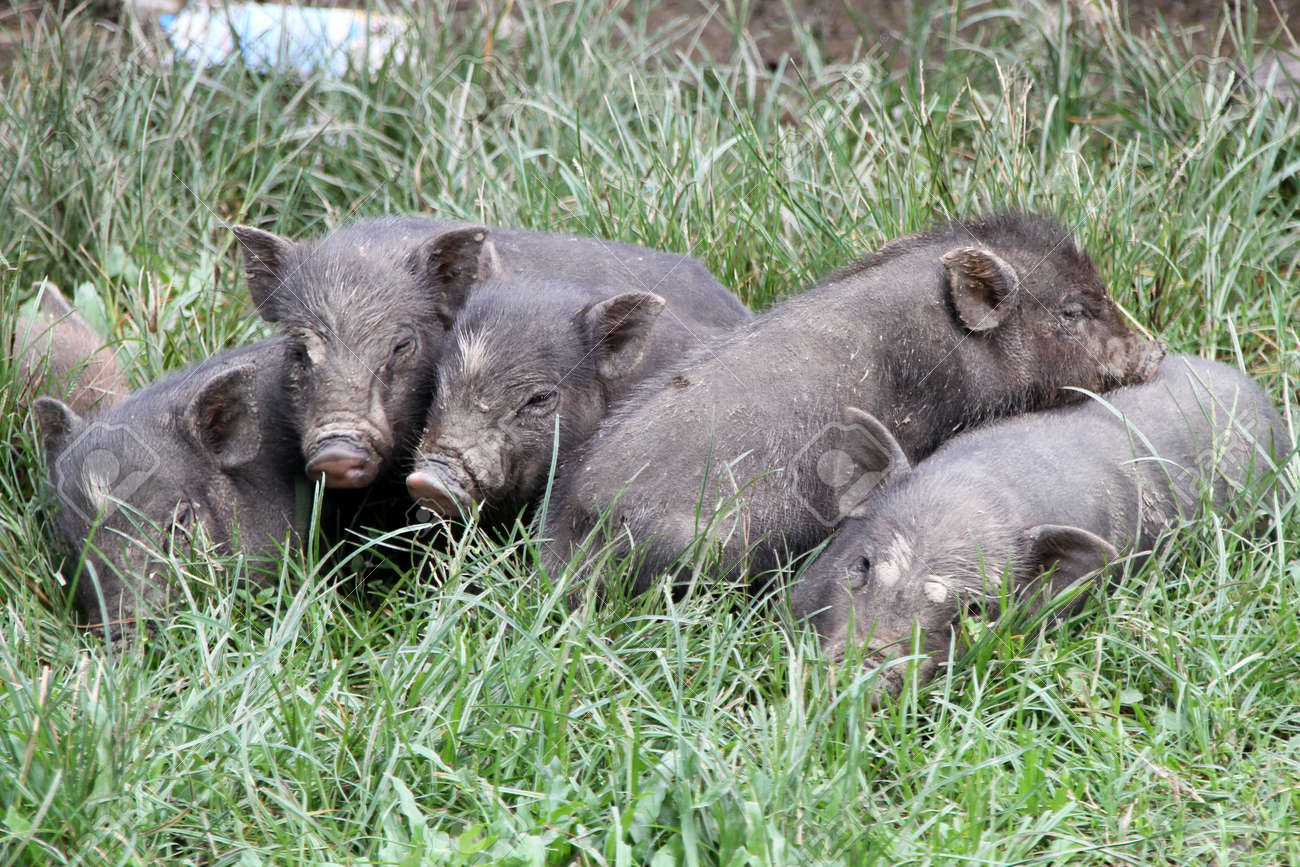 Small pigs on the green grass in village, Laos Stock Photo - 11223176