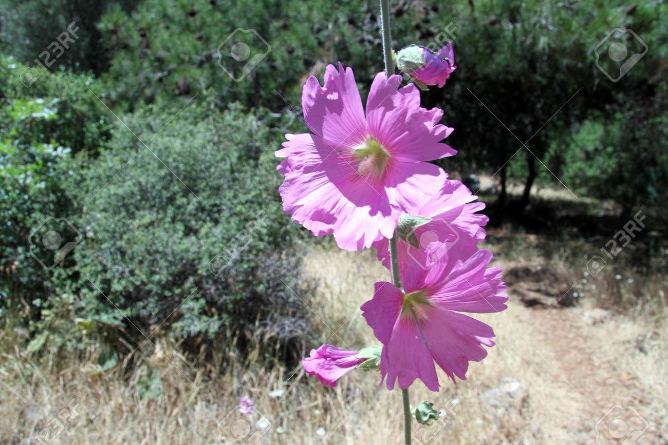 Purple flowers in the pine tree forest turkey stock photo picture purple flowers in the pine tree forest turkey stock photo 20144986 mightylinksfo