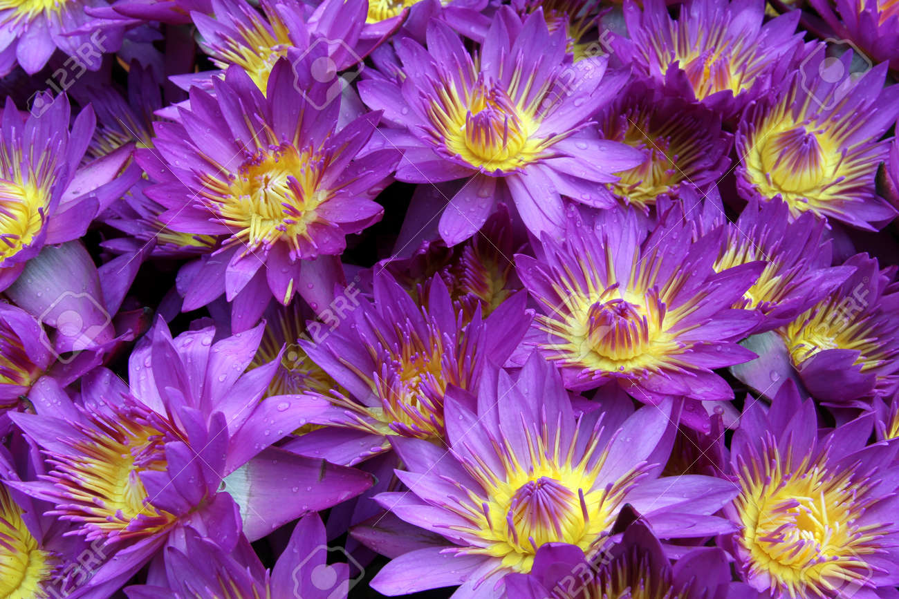 Many violet lotus flowers for sale stock photo picture and royalty many violet lotus flowers for sale stock photo 24818686 izmirmasajfo