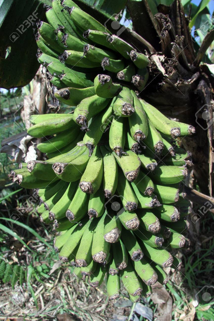 Cluster of green bananas on the tree Stock Photo - 24824999