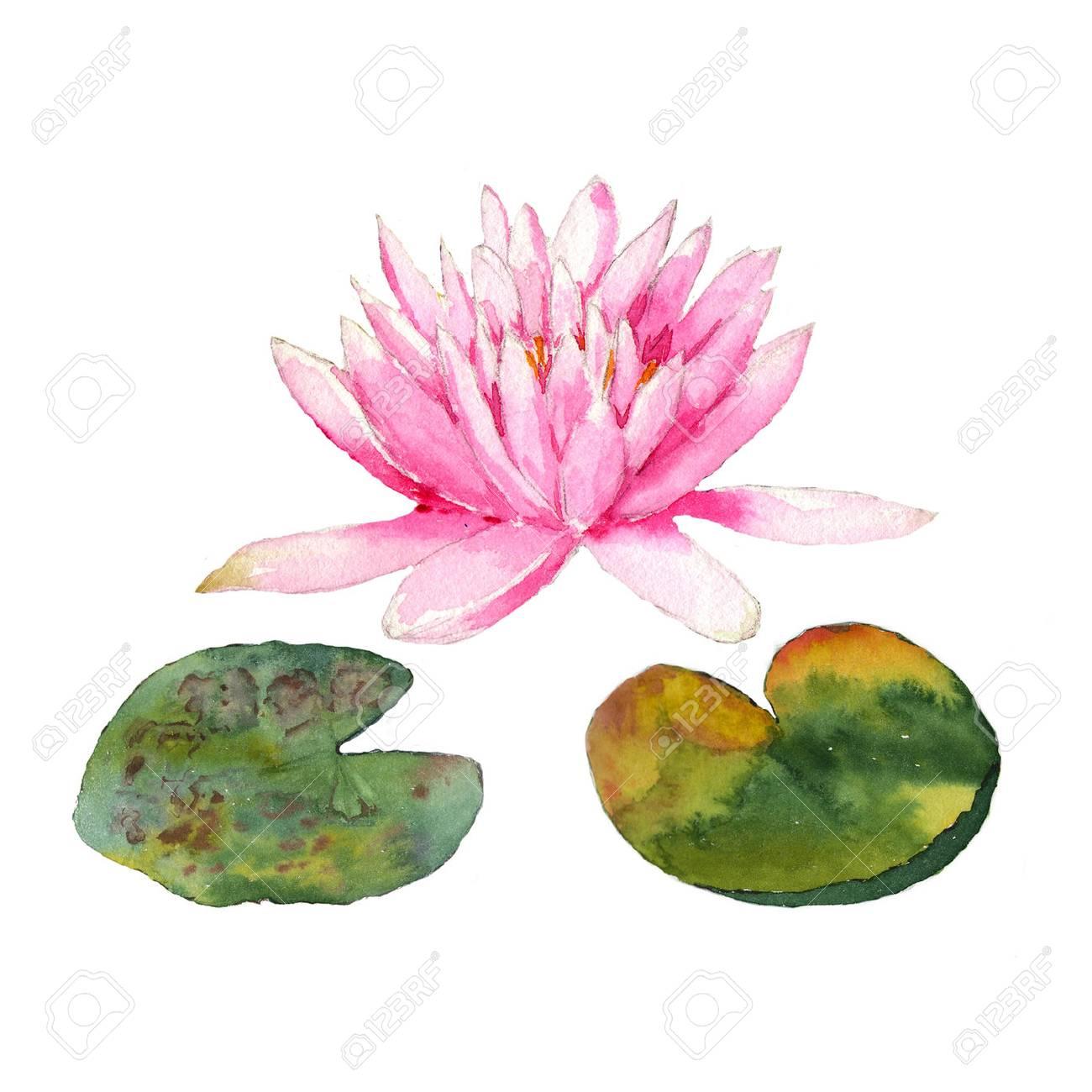 白い背景の上の池で睡蓮の植物の水彩イラスト の写真素材画像素材