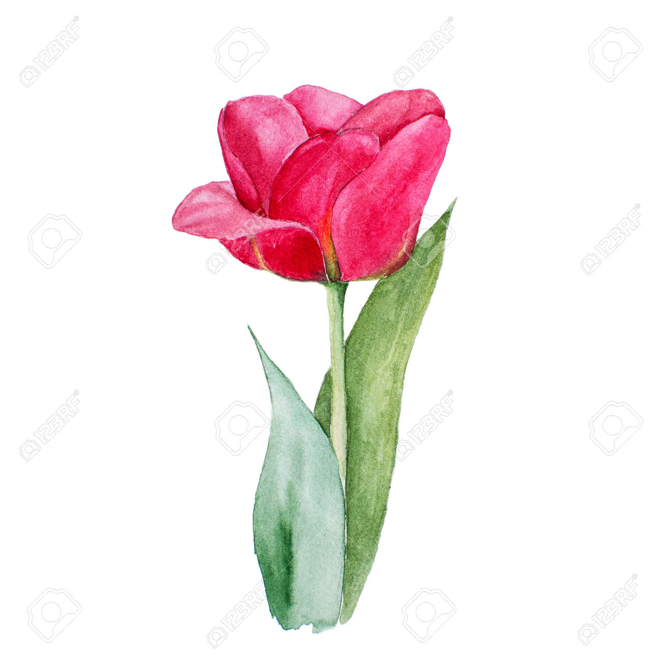 botanical watercolor illustration sketch of red tulip flower stock