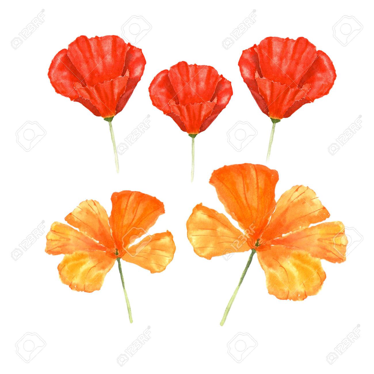 Watercolor botanical illustration of california poppy flowers illustration watercolor botanical illustration of california poppy flowers isolated on white background mightylinksfo