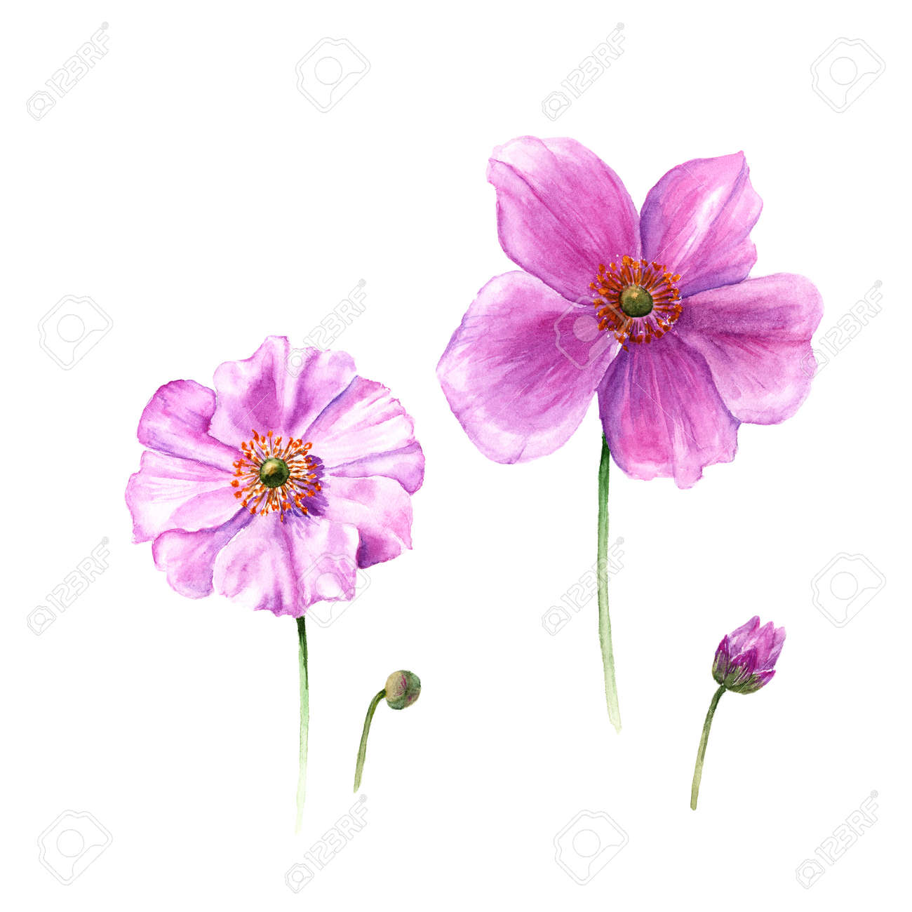 Watercolor Anemone Flowers And Buds Hand Drawn Single Flower