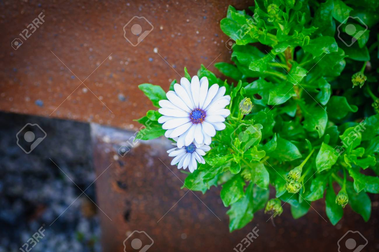 White Chrysanthemum Flowers With Blue Center On Bricked Background