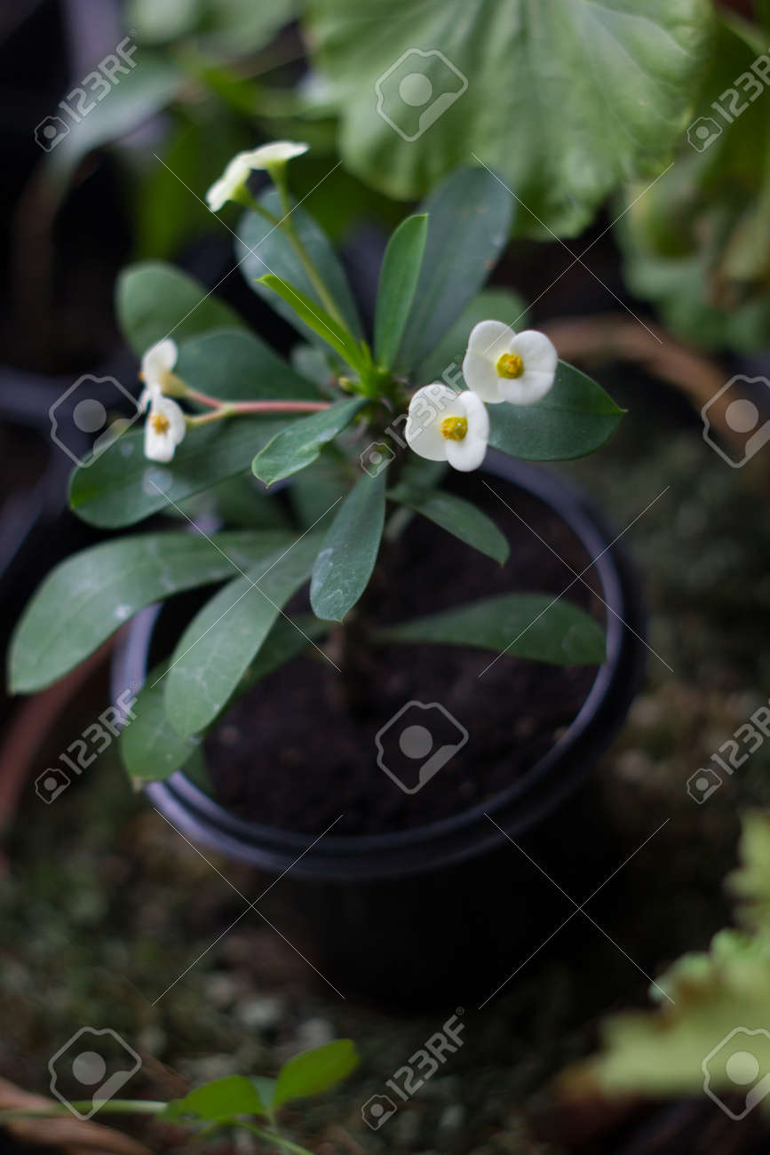 White Flowers Of Euphorbia Milii Popular Home Plant Stock Photo