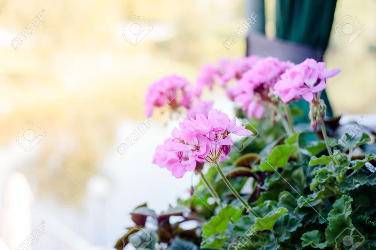 Flowers Of Pink Geranium On Street Stock Photo Picture And Royalty