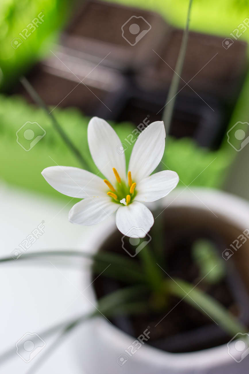 Beautiful tropical plant zephiranthes with white flowers stock beautiful tropical plant zephiranthes with white flowers stock photo 96110717 mightylinksfo