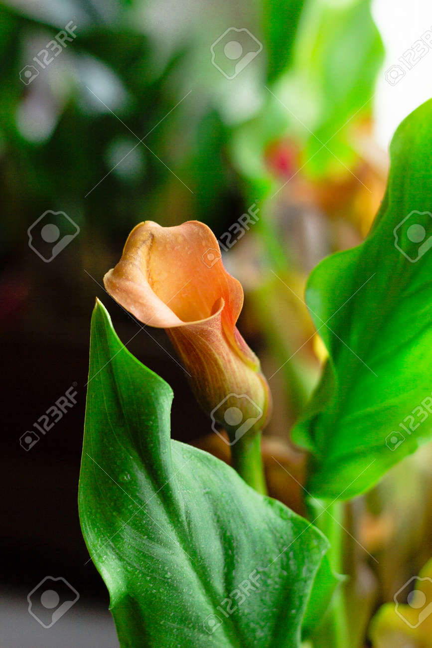 Beautiful Orang Calla Lily Flower Growed In A Home Stock Photo