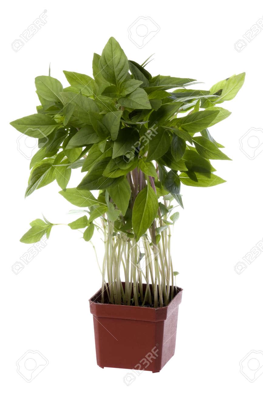 Isolated image of Thai Basil leaves. Stock Photo - 4172986