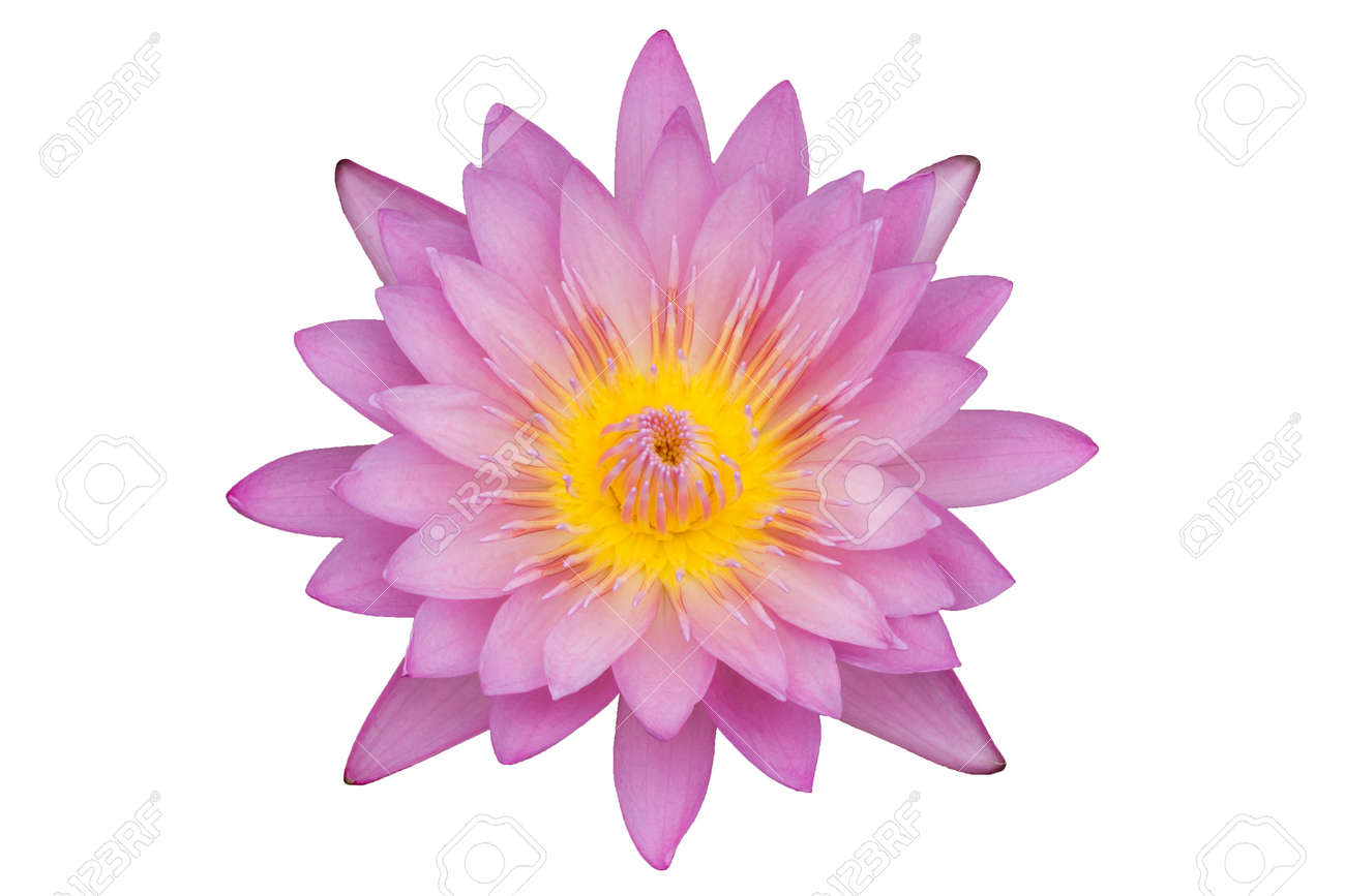 Pink Lotus Flower Isolated On White Background Stock Photo Picture