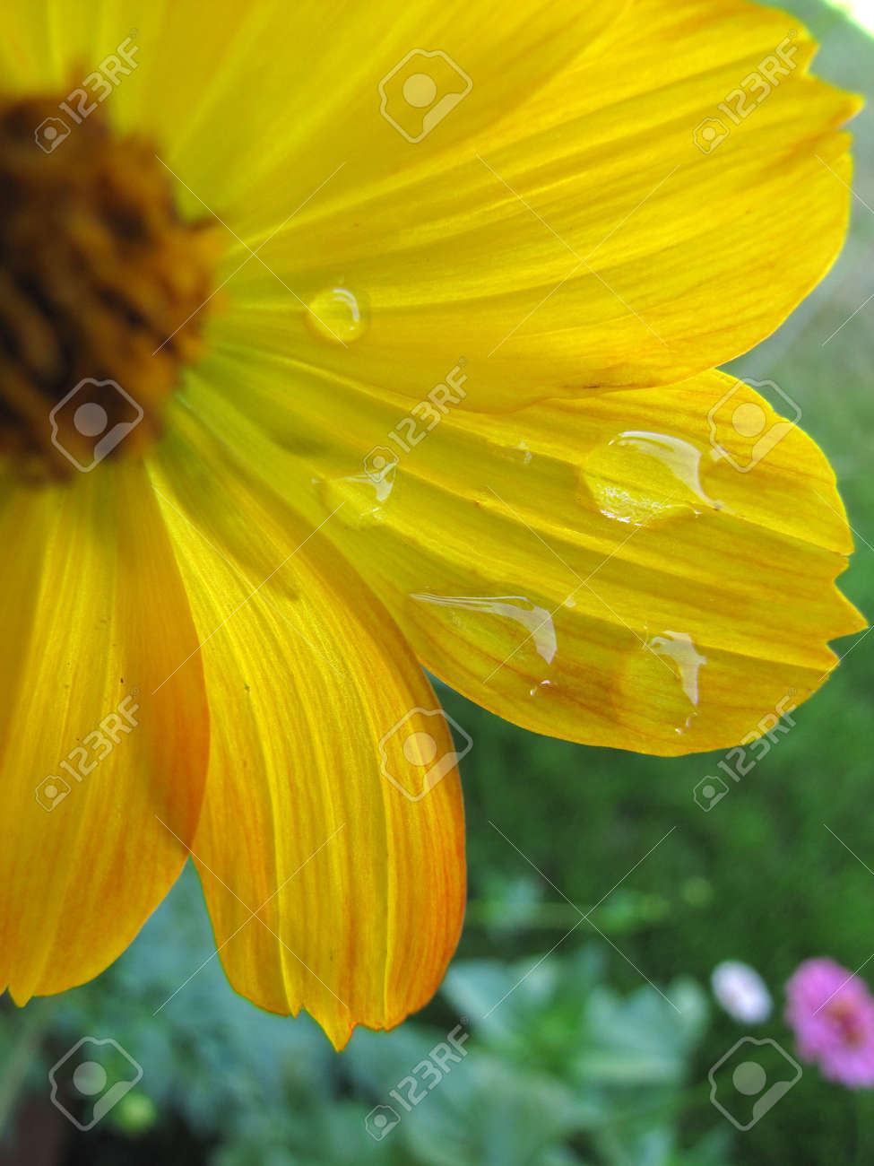 Yellow cosmo flower with water droplets in garden Stock Photo - 17501486