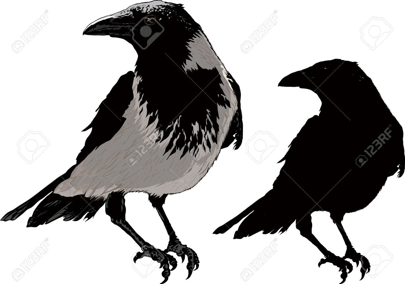 3 204 raven isolated stock vector illustration and royalty free