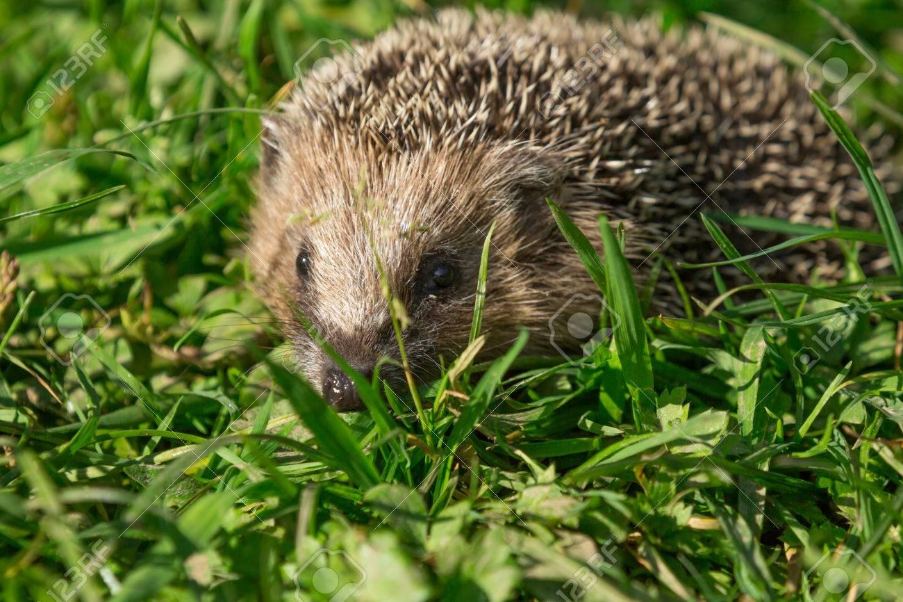 A hedgehog runs by a meadow Stock Photo - 23952247