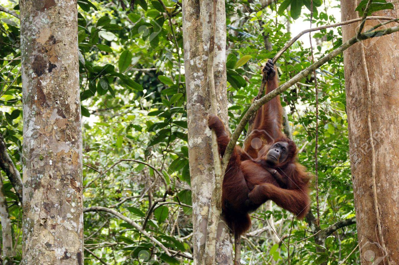 Kutai National Park Tour, Orangutan and wildlife Safari,Rainforest ...