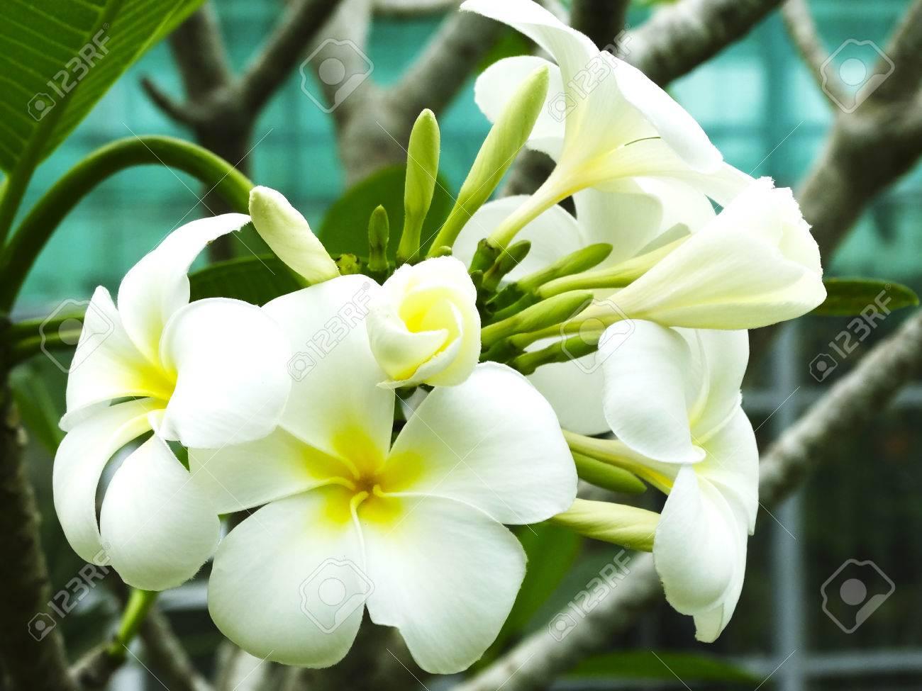 Beautiful Blooming Flowers Frangipani Borneo Stock Photo Picture