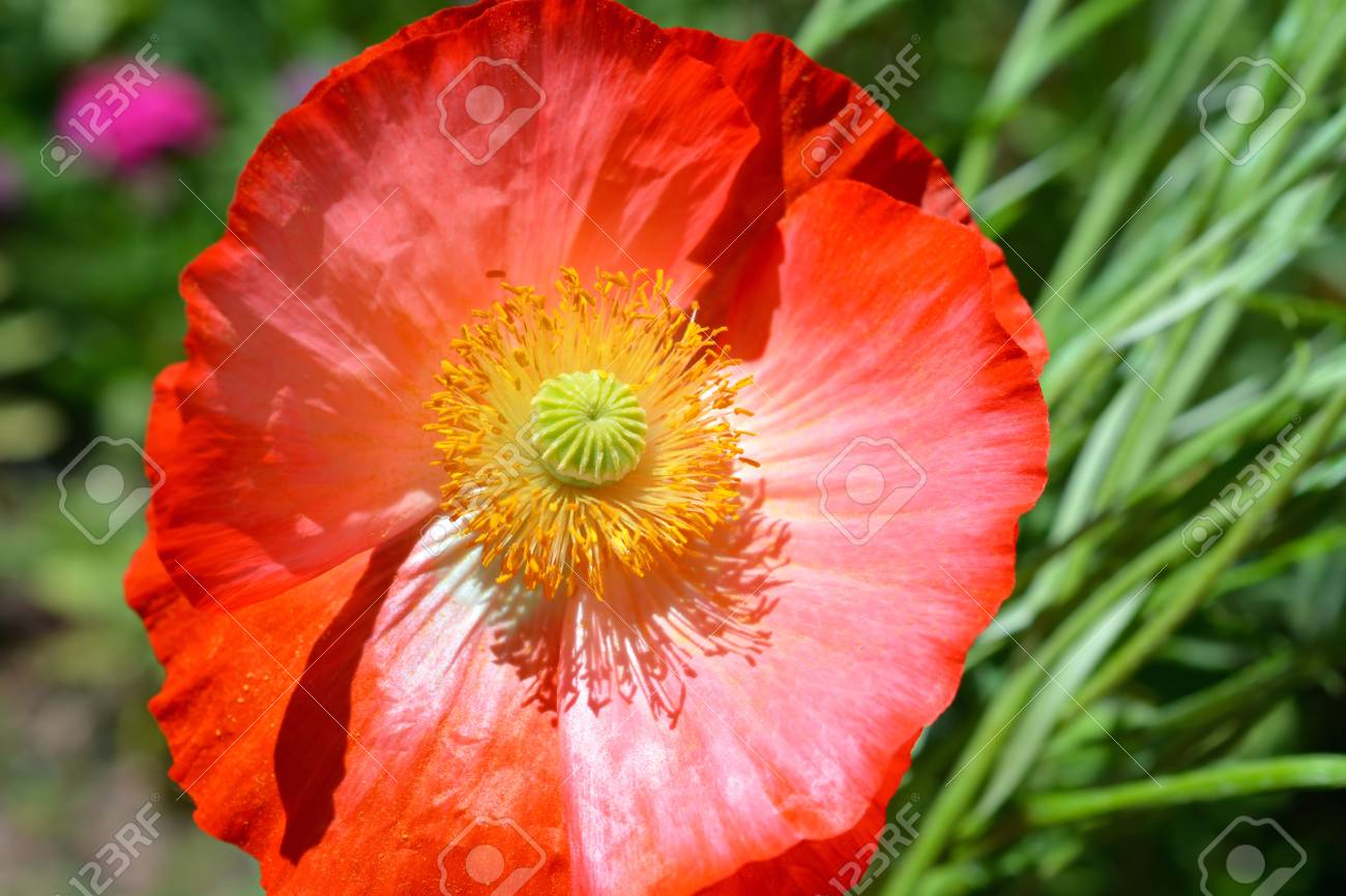 Vibrant Red Orange Poppy Flower Stock Photo Picture And Royalty