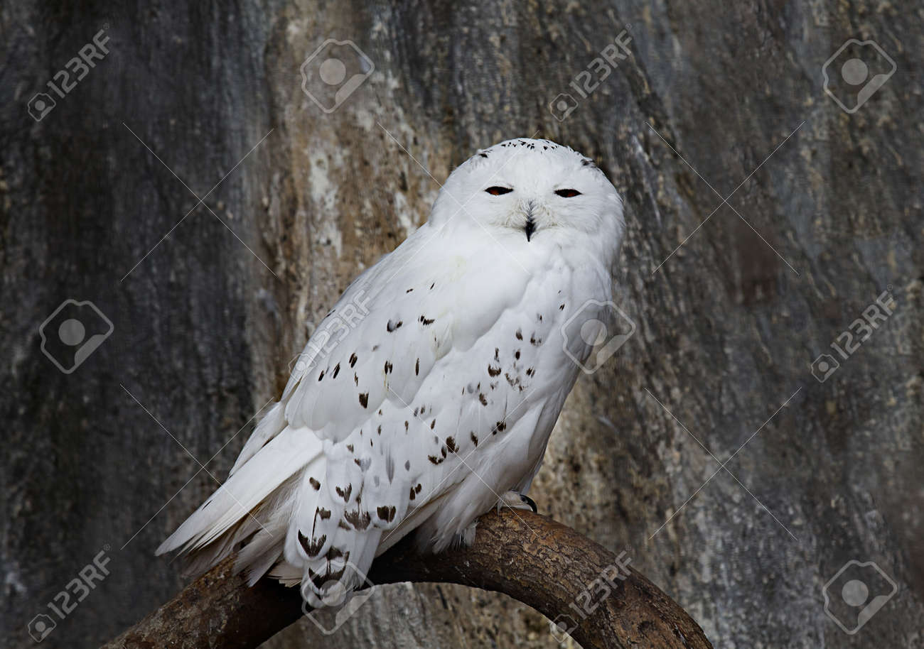 snowy owl images u0026 stock pictures royalty free snowy owl photos