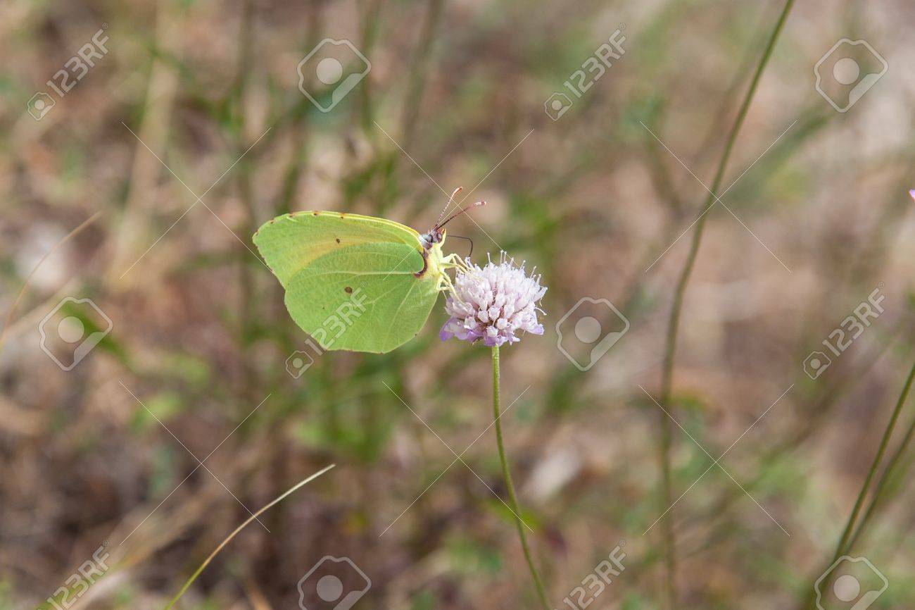 Yellow cleopatra butterfly feeding on flower Stock Photo - 14124508