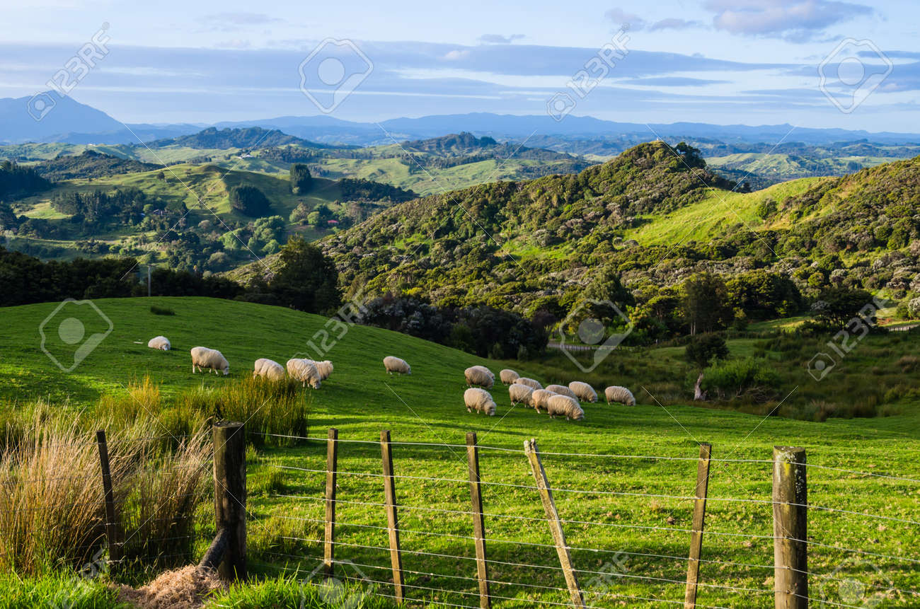 Sheep eating grass on the mountains of the north island of New Zealand - 15216412