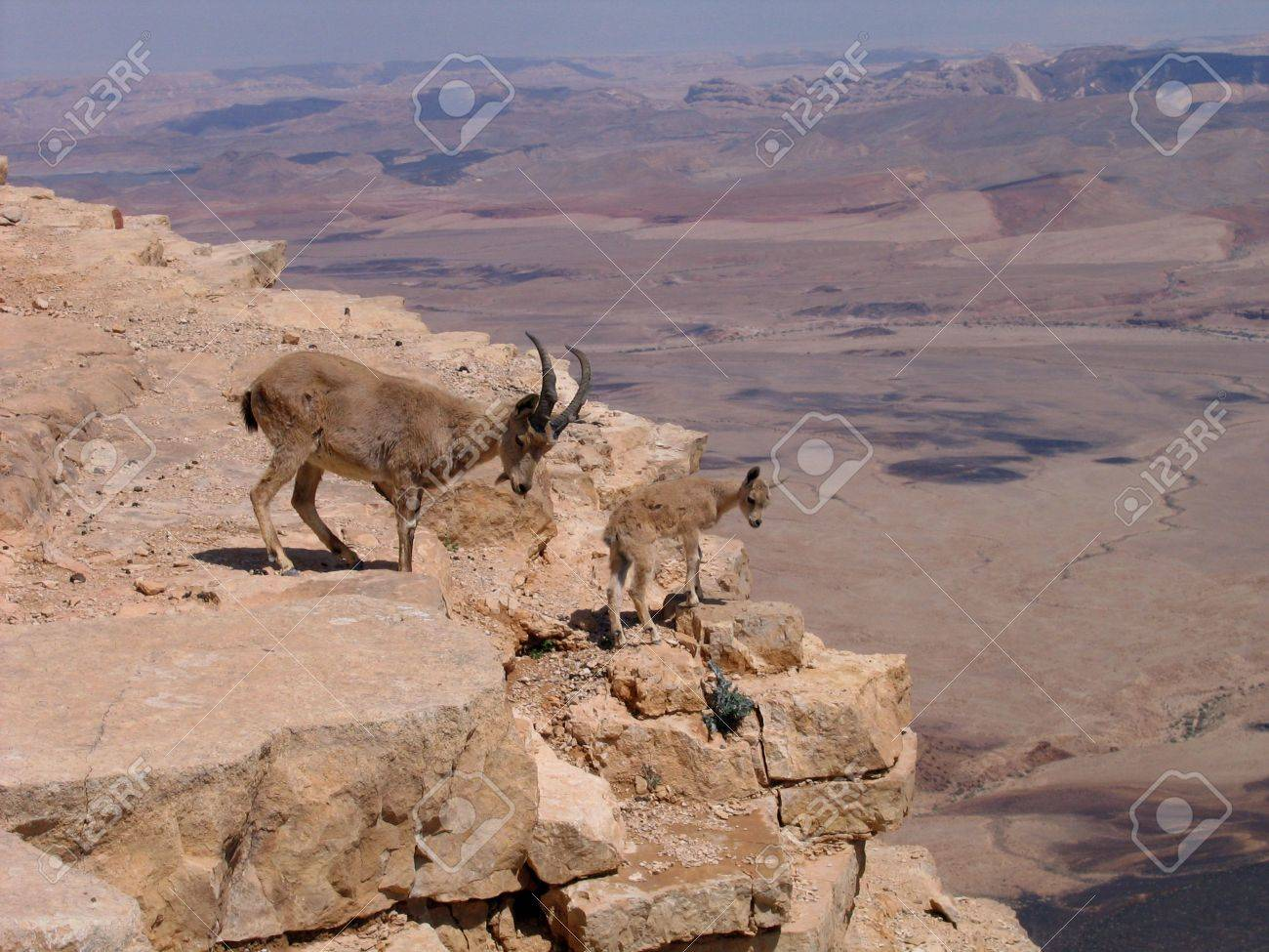 Deers at Ramon Crater, Israel Stock Photo - 7400293
