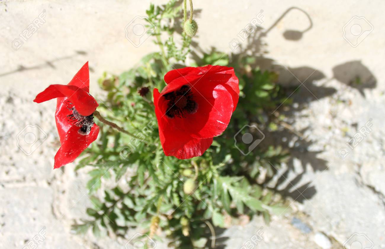 Poppy Red Flowers On The Pavement In The Spring Stock Photo Picture