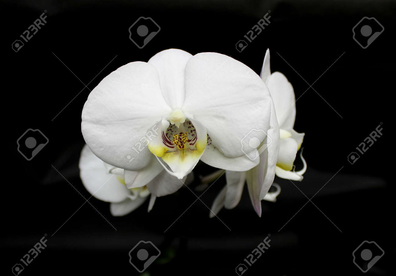Orchids Flowers Of Rare Varieties Exotic Epiphytes Stock Photo