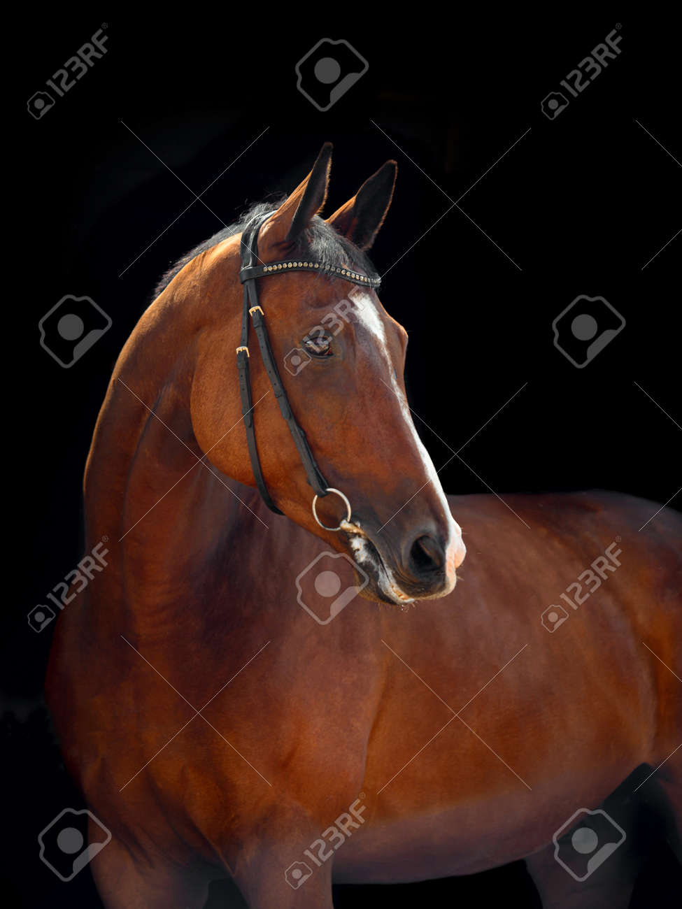 Portrait Of Bay Horse With Classic Bridle Isolated On Dark Stable Stock Photo Picture And Royalty Free Image Image 143651164