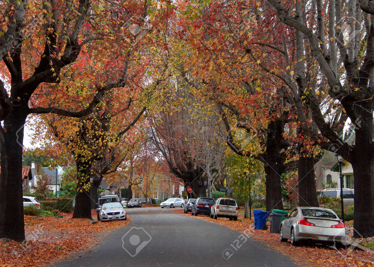 Tall Liquid Ambar Commonly Called Sweetgum Tree Or American Stock Photo Picture And Royalty Free Image Image 116280390