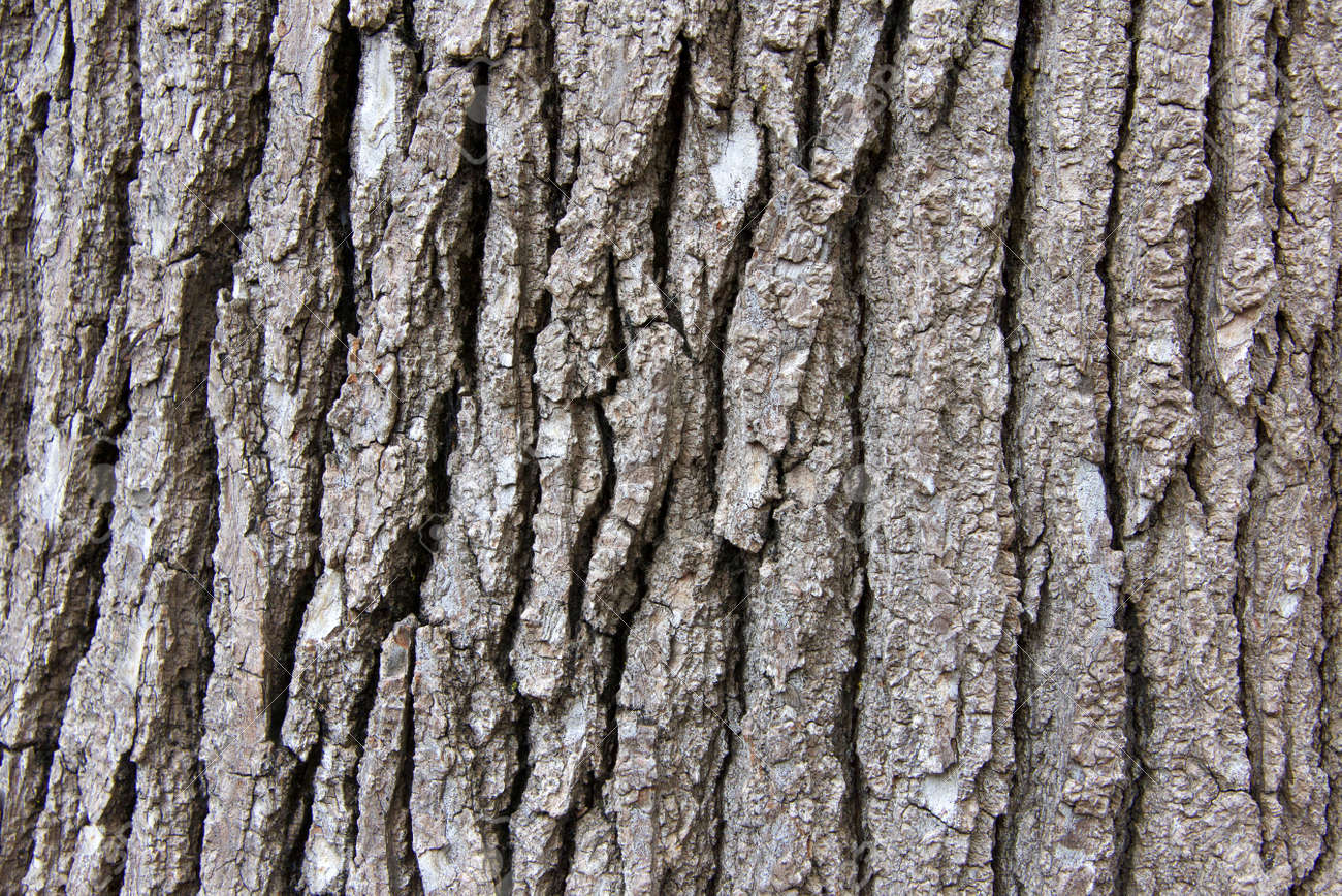 Close Up Of Bark Texture On A Sweet Gum Tree A Large Deciduous Stock Photo Picture And Royalty Free Image Image 116280676