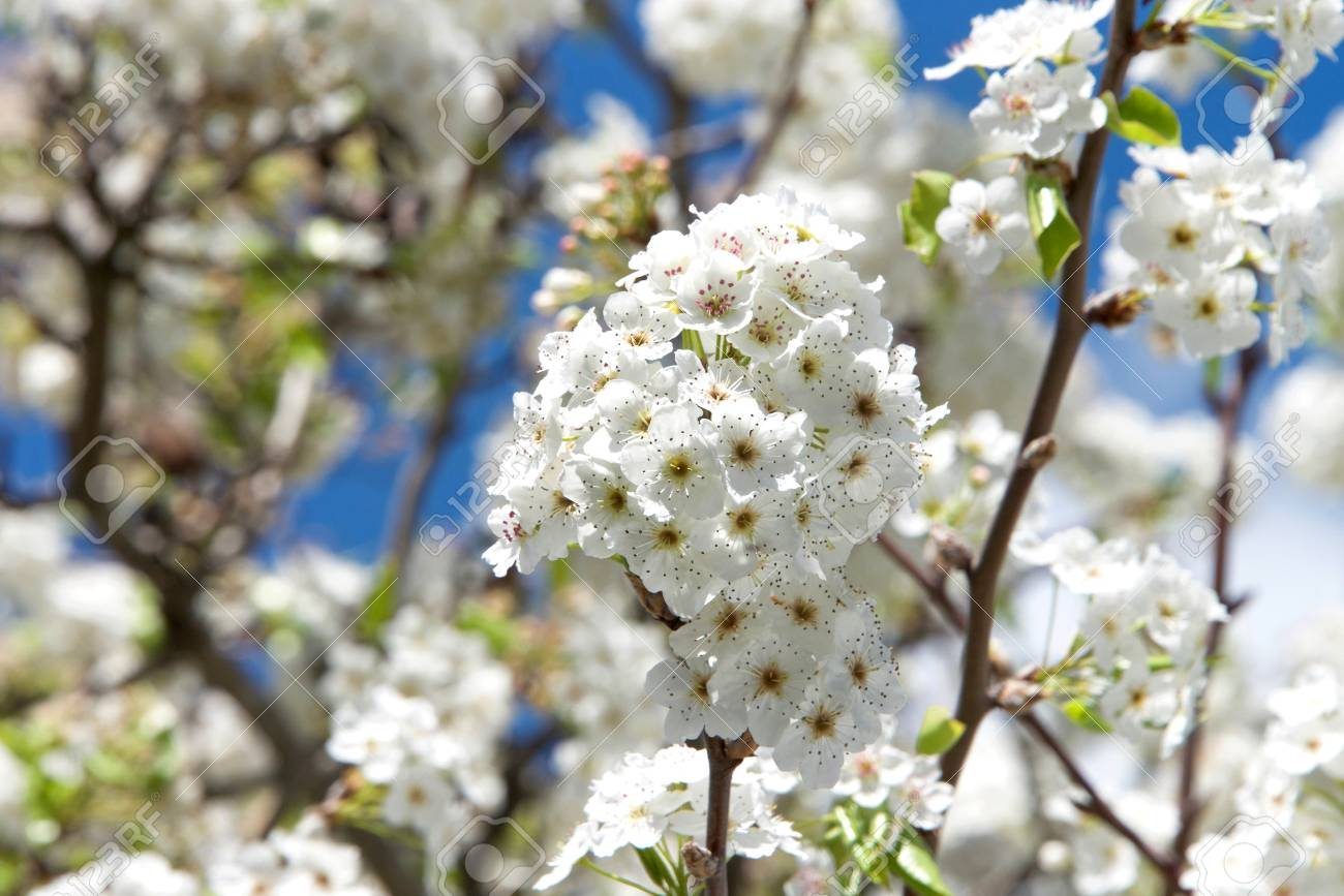 White Cherry Blossom Tree Flower Clusters Many Of The Varieties