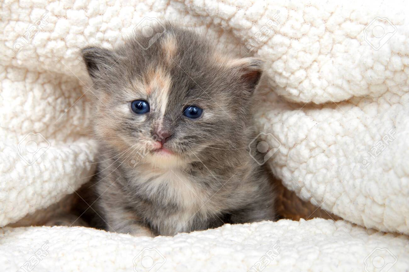 Adorable Grey And Orange Diluted Tabby Kitten In A Sheepskin Stock Photo Picture And Royalty Free Image Image 122275531