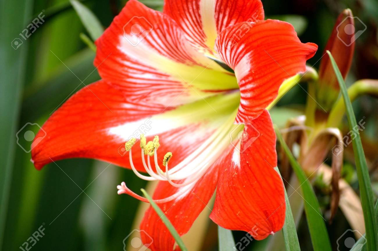 amaryllis a l'exterieur