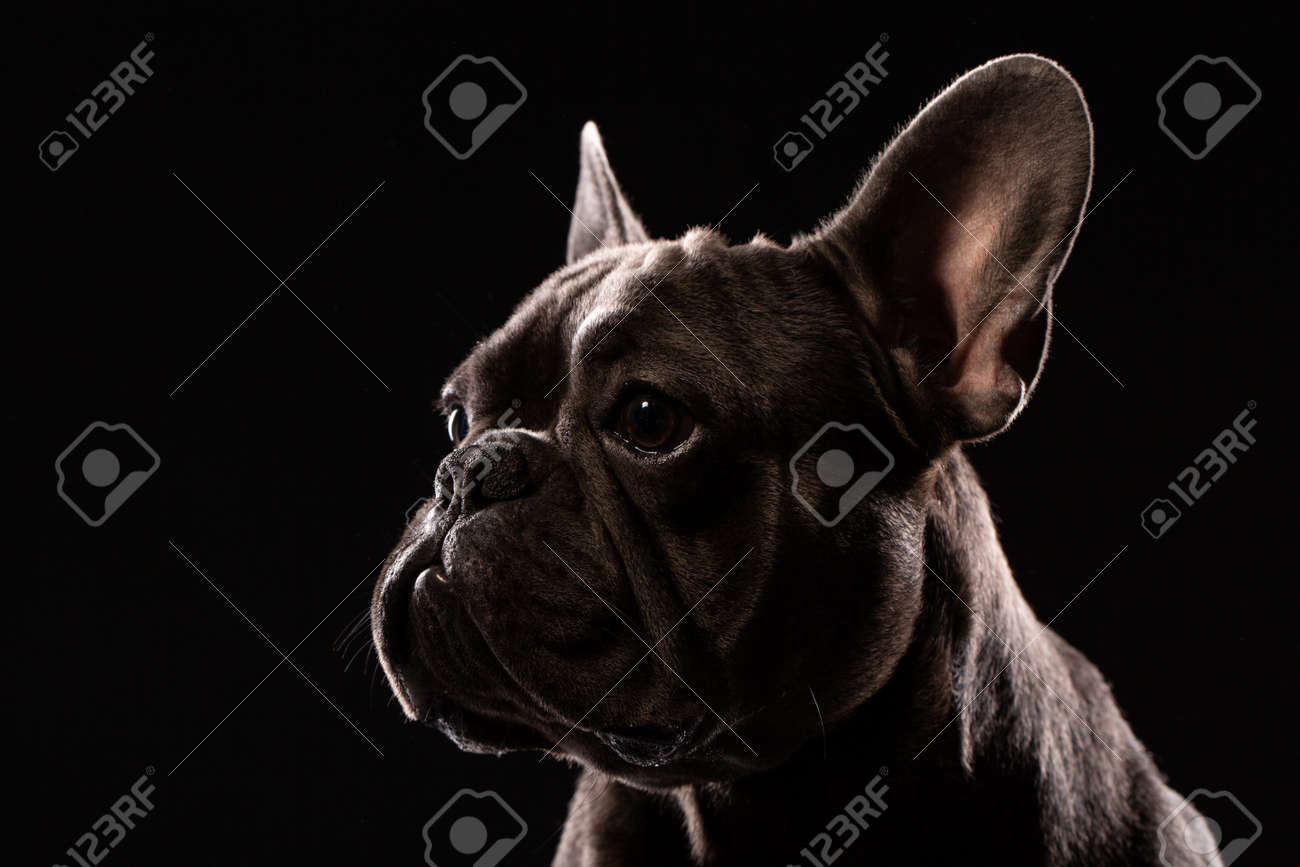 Portrait of Black French Bulldog on black background - 104515484
