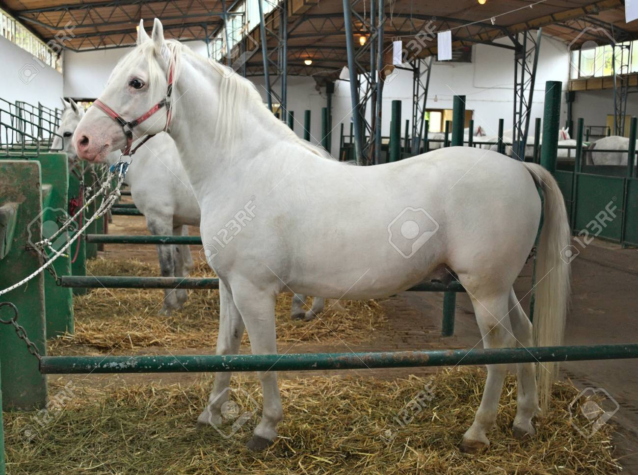 Beautiful White Horse In Stable Side View Stock Photo Picture And Royalty Free Image Image 90007057