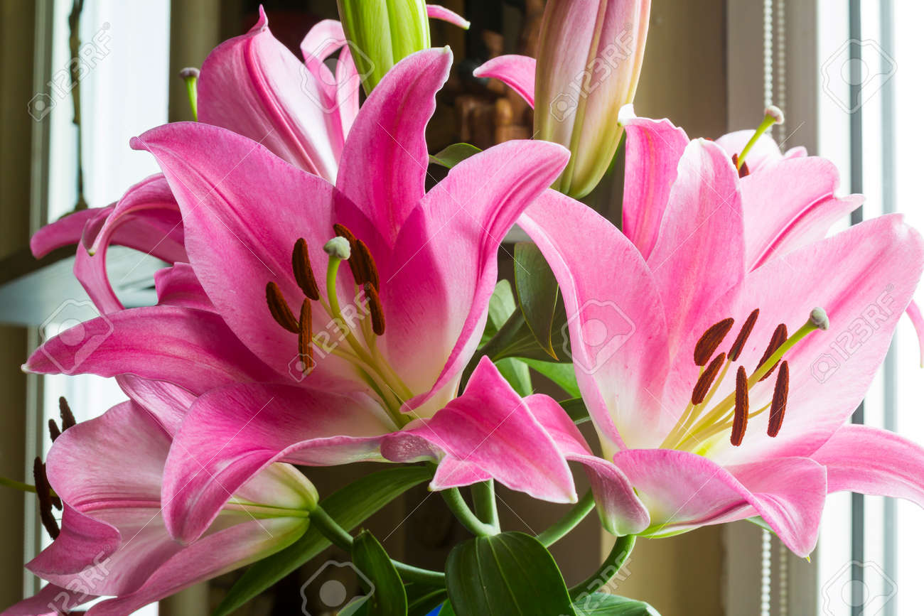 Blooming Pink Lily Flowers Close Uptals Of Pink Color Brown