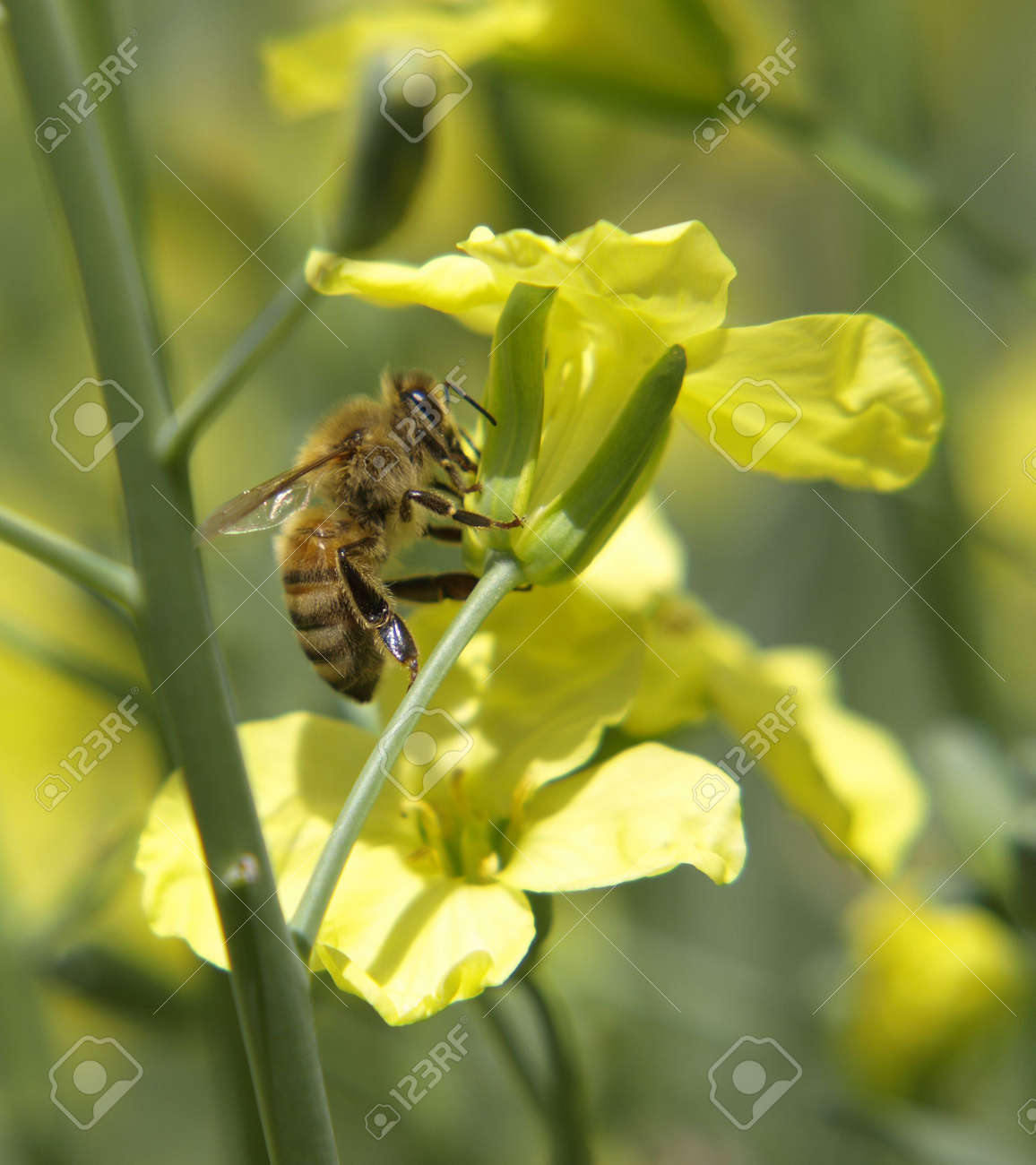 A honey bee worker collects pollen from yellow brassica blossoms Stock Photo - 3777016