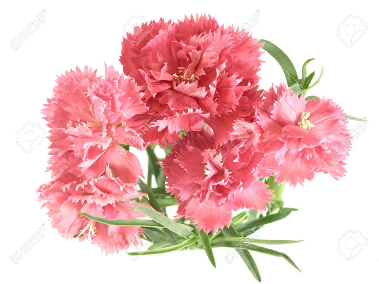 posy of carnations isolated on white background Stock Photo - 4404019