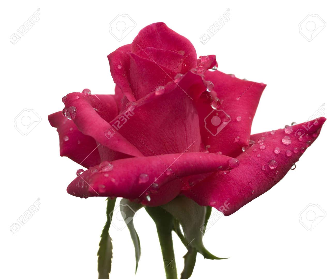 pluie fraîche rosée sur la tige de la cerise fleur rose rouge avec