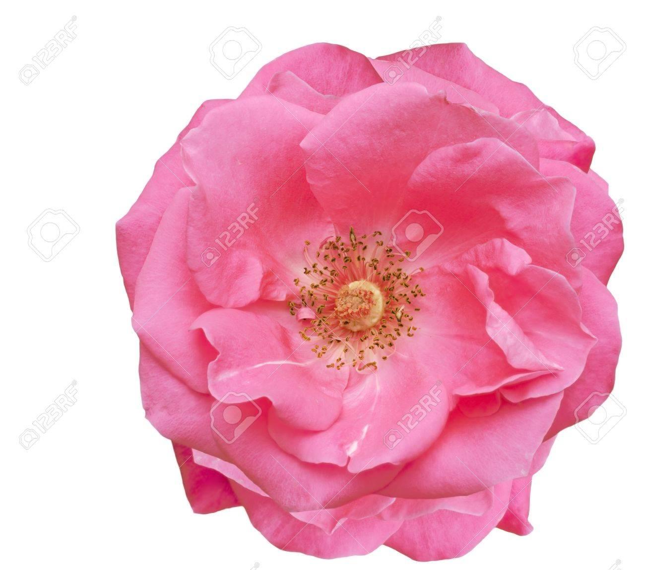 magnifique fleur rose rose unique, en le fleurs du printemps sur