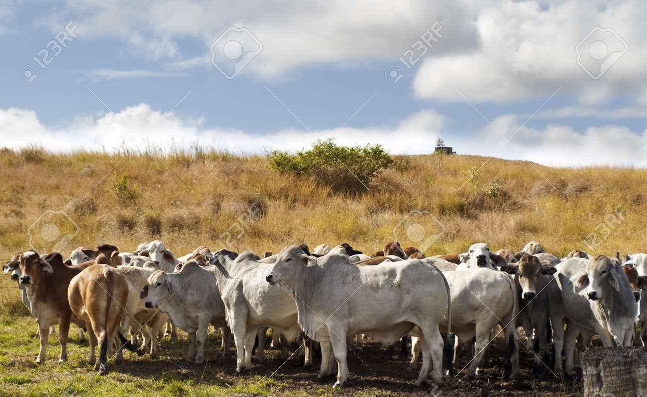Herd of brahman beef cattle cows in rural Queensland - 14461353
