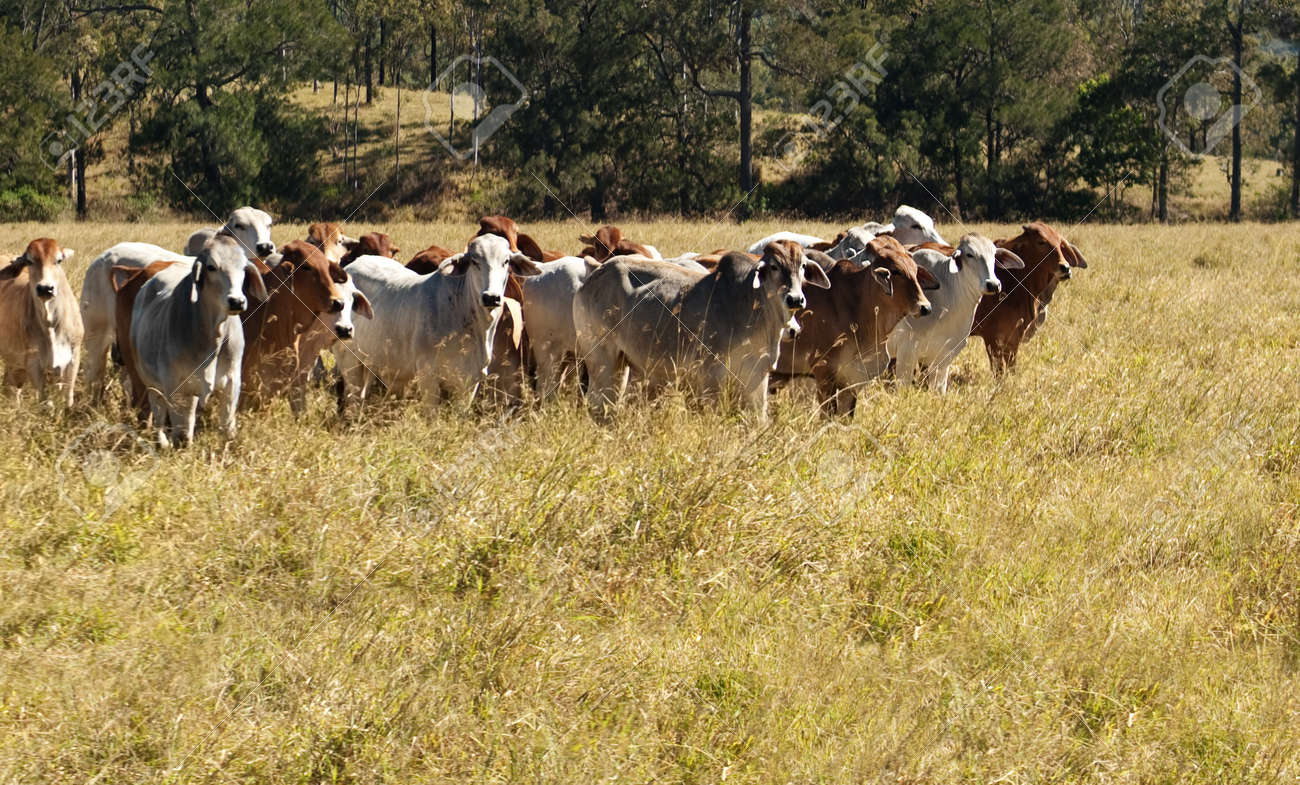 Australian Primary Industry Agriculture Beef Cattle Herd Of Red