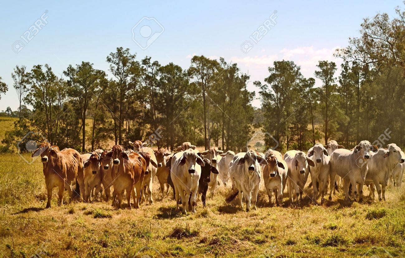 brahman cow images u0026 stock pictures royalty free brahman cow