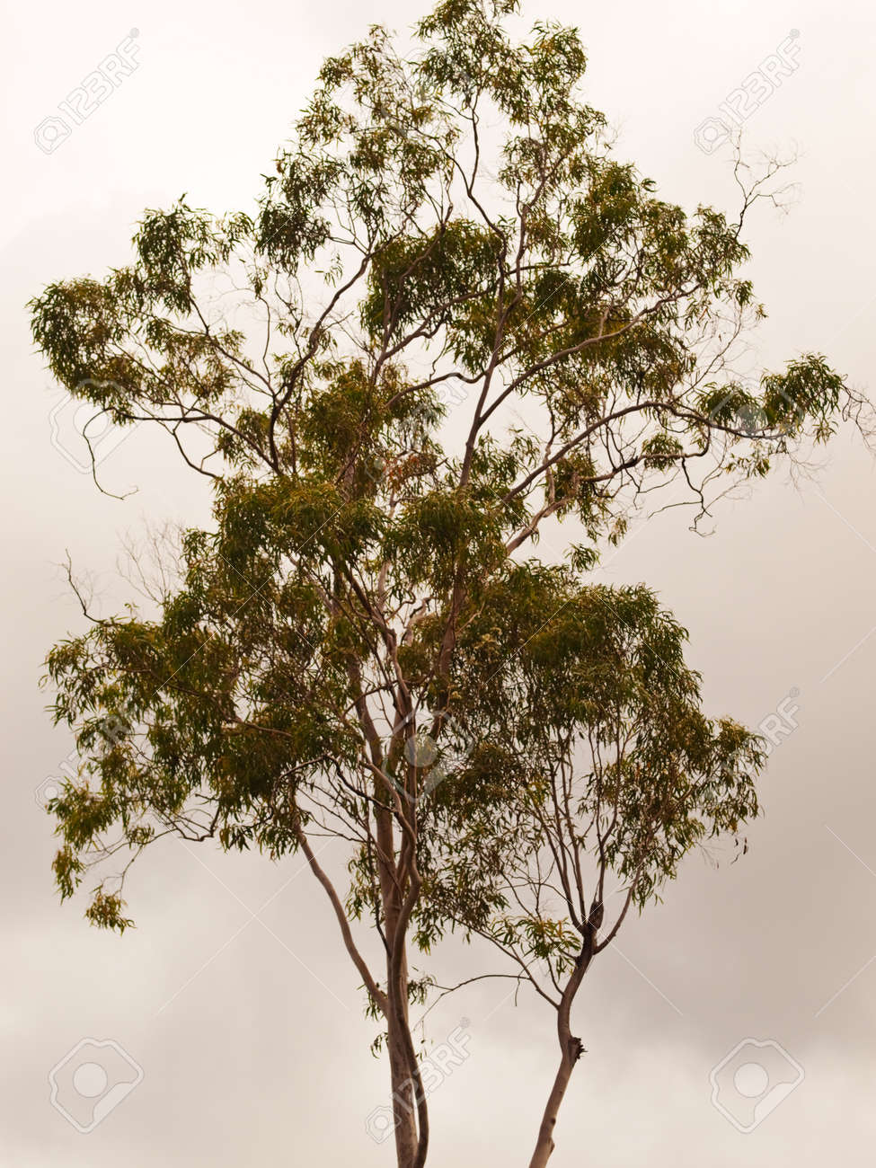 Australian Gum Tree Backdrop for background - 19714331