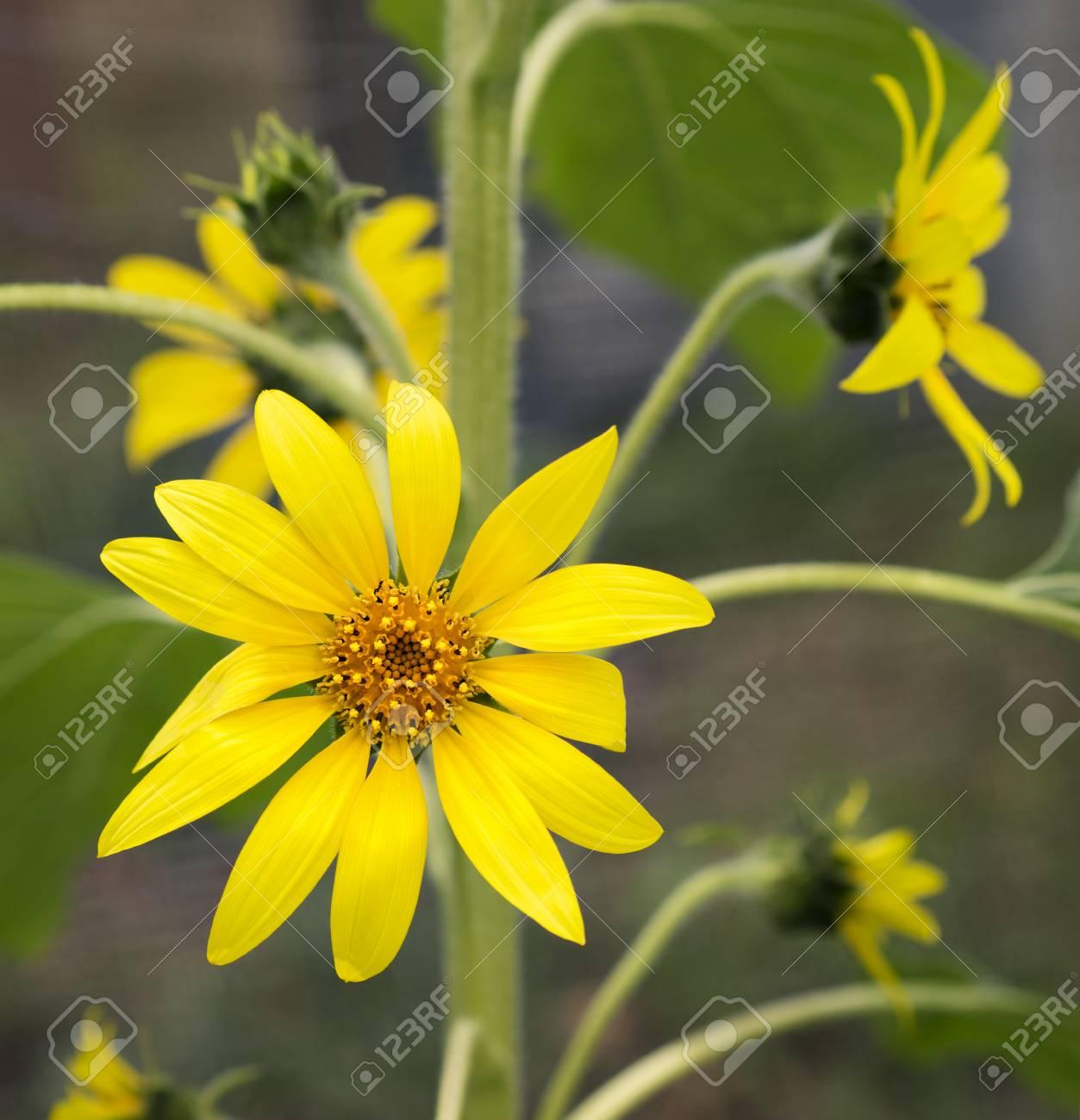 Bright golden sunflowers happy yellow flowers growing in the bright golden sunflowers happy yellow flowers growing in the garden symbolic of bounty mightylinksfo