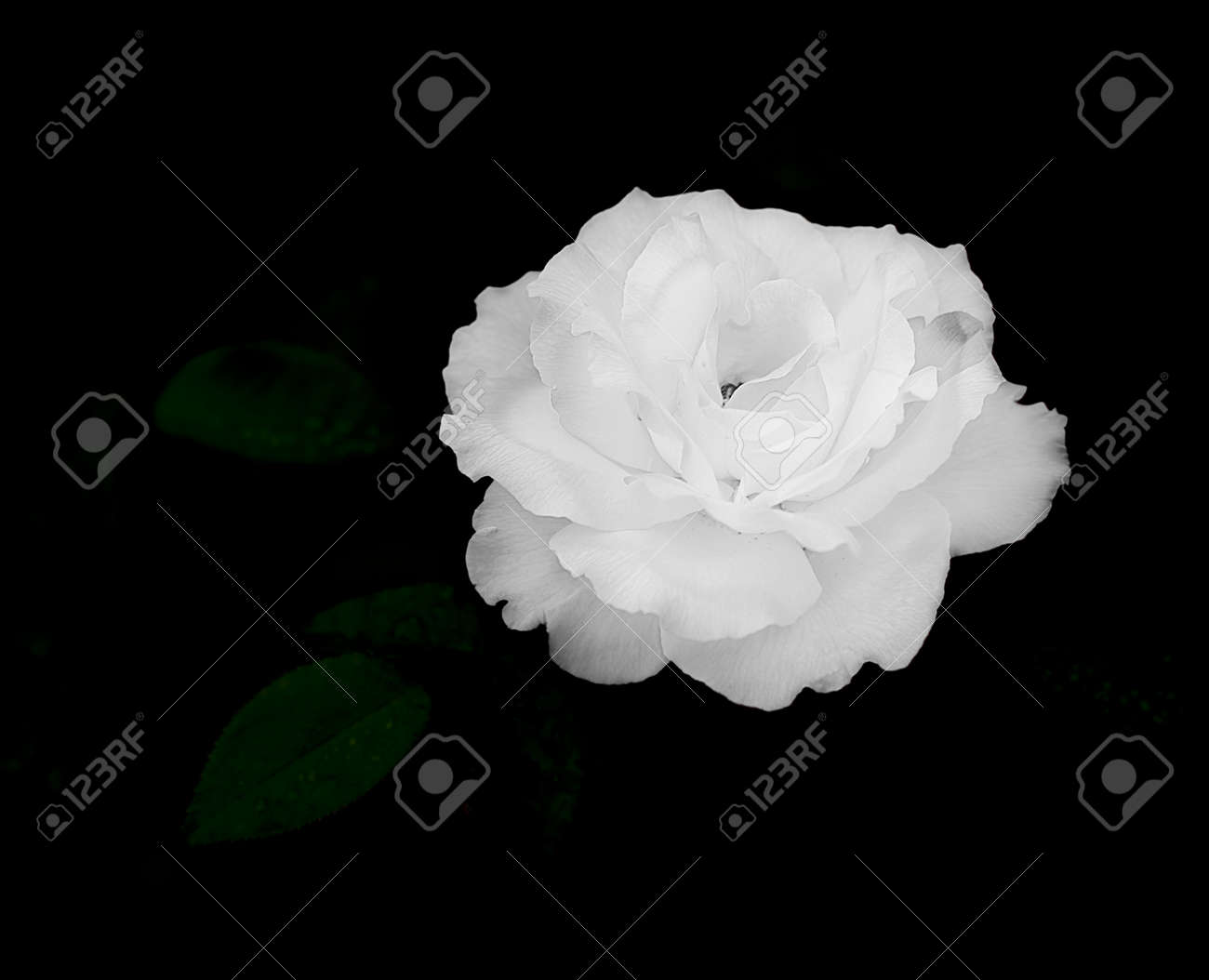 Close Up Of White Rose Flower On Dark Almost Black Background