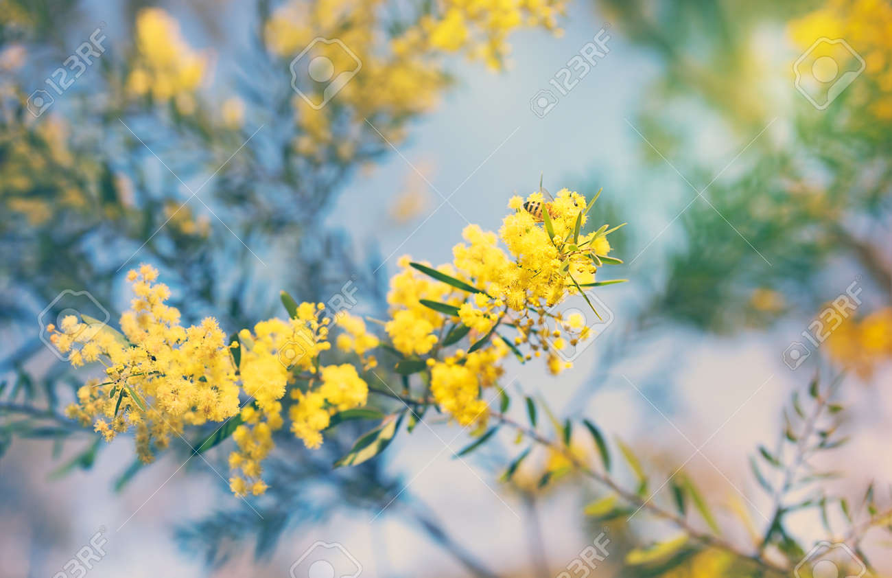 Australia Winter And Spring Golden Yellow Wildflowers Acacia Stock