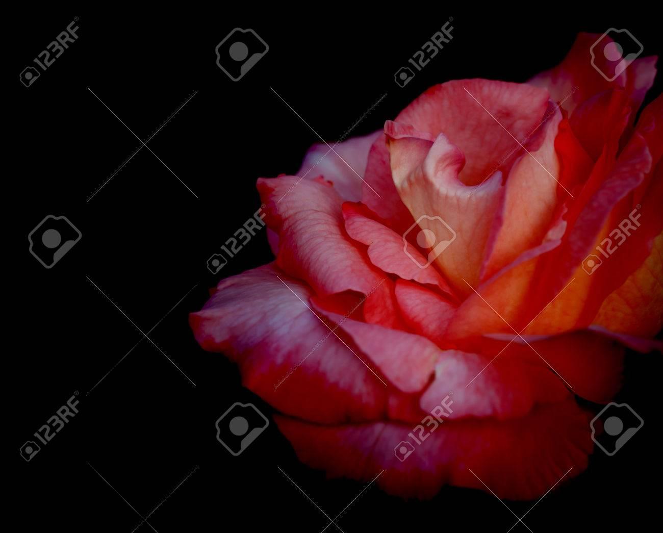 Fleur Rose Rouge Sur Fond Noir Pour L Amour Les Condoleances Ou La